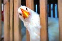Удивлённая курица