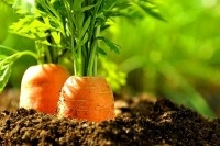 Прополка моркови как спорт
